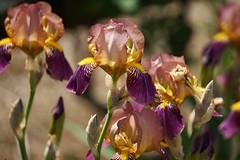 Iris x sambucina (elder-scented iris) , National Herb Garden