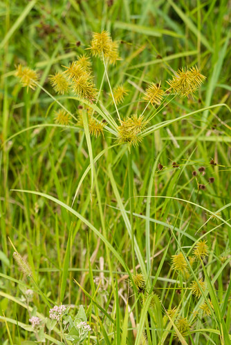 native monocots cyperaceae falsenutsedge cyperusstrigosus strawcoloredflatsedge