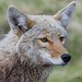 IMG_6770 coyote by starc283
