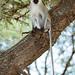 Velvet monkey by www.sophiethibault.ca