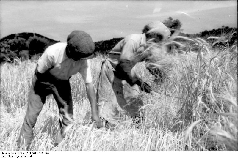 Siega en los campos de cereal. Autor, Büschgens