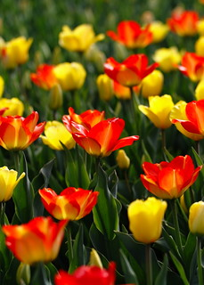 Beautiful Tulips, Cantigny Park. 6 (EOS)
