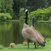 Canada Geese and goslings by D70