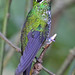 Green Crowned Brilliant, Costa Rica (Reagan Smith)