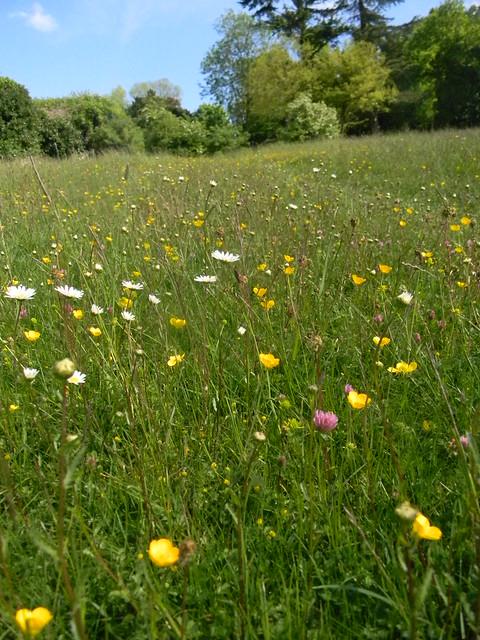 Wild flower meadow, Hedsor Church