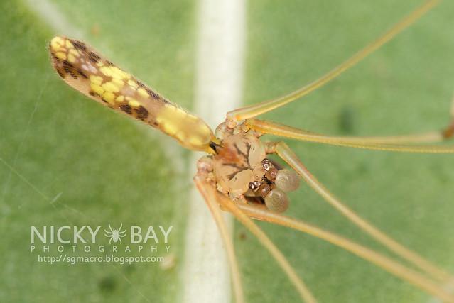 Daddy-Long-Legs Spider (Pholcidae) - DSC_7281