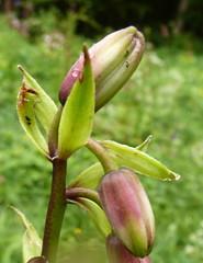 pitcher plant(0.0), lily(0.0), erythronium(0.0), flower(1.0), bud(1.0), plant(1.0), wildflower(1.0), flora(1.0), plant stem(1.0),