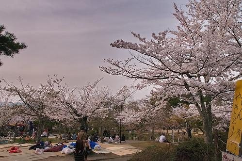 【写真】2013 桜 : 円山公園(2)/2020-11-17/IMGP9280