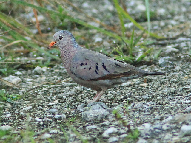 Common Ground-Dove 20130805