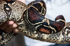 animal, serpent, eastern diamondback rattlesnake, snake, boa constrictor, reptile, hognose snake, close-up, scaled reptile, kingsnake,