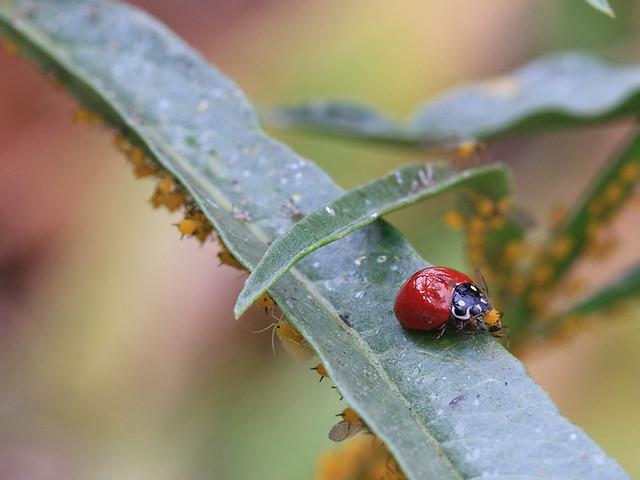 Ladybug&Aphids_on_Milkweed_9587a