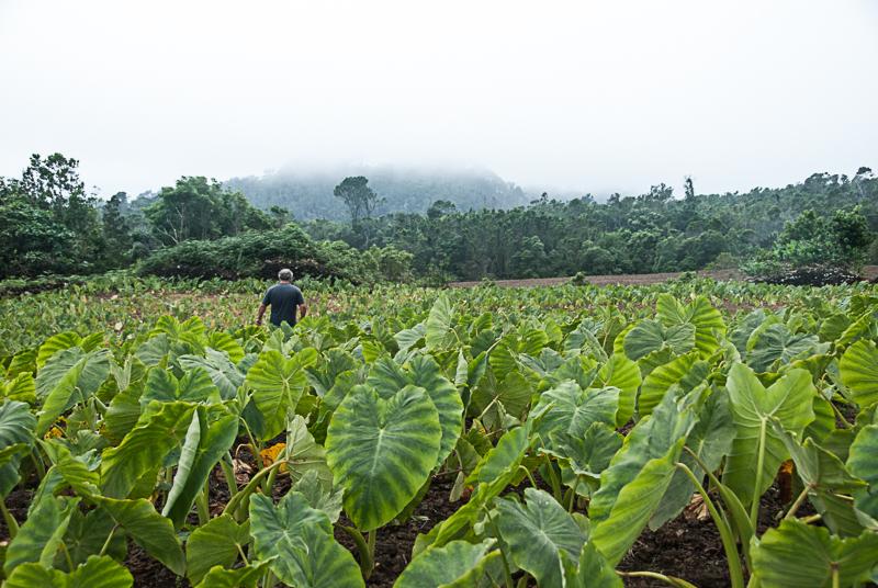 Plantação de inhame, ilha do pico, açores