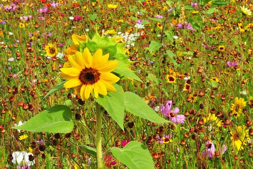 Wiese Wiesen Blume Blumen Blumenwiese bunt farbenfroh artenreich Insekten Biene Hummel Schmetterling Nahrungsangebot Nahrungsmittel Trachtpflanzen Duft Farbe Sonnenblume Sonnenblumen Sommer Spätsommer Frühherbst