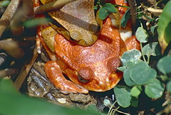 Madagascar Tomato Frogs (Dyscophus antongilii) mating (captive specimens)