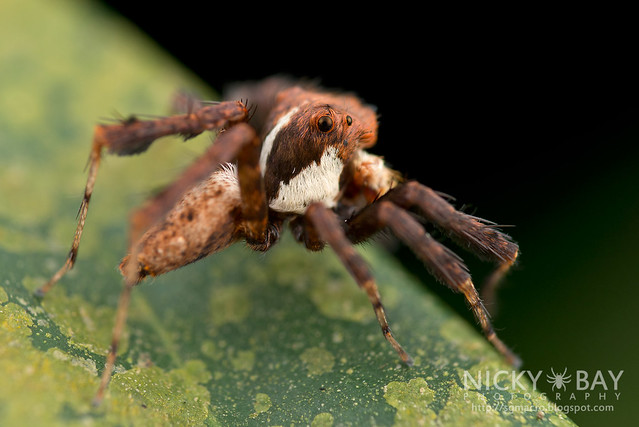 Jumping Spider (Portia sp.) - DSC_3859