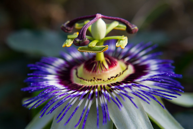 "Passiflora ""Ned Kelly"""