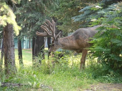 CC deer14