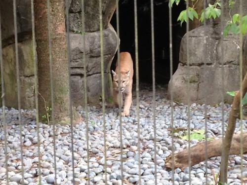 6溫帶動物區_山獅