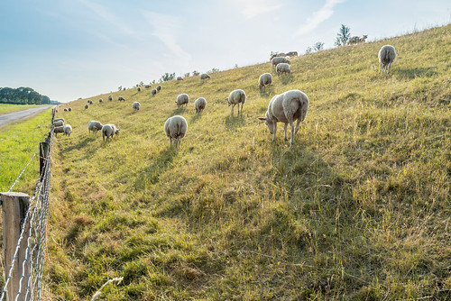 Sheep by RuudMorijn
