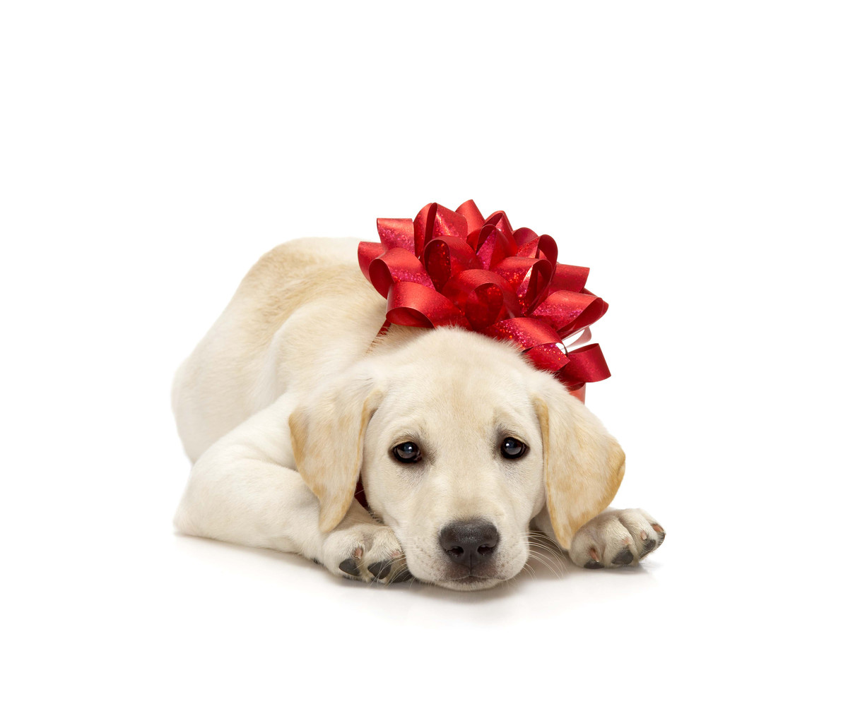 dog-labrador-puppy-gift