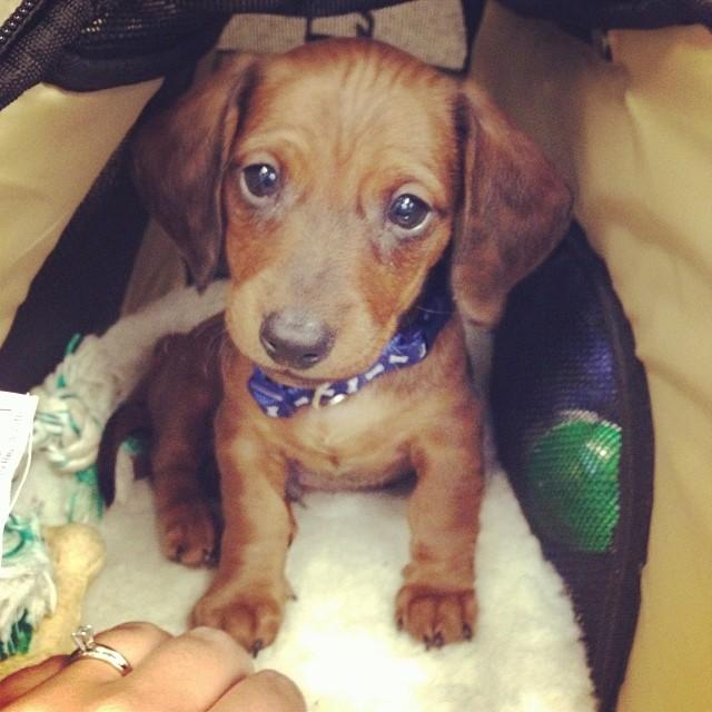 Hi, I'm cute. #doxie #dachshund #weeniewithaweenie #puppy