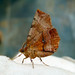 Small photo of Early Thorn. 2nd generation. Selenia dentaria.