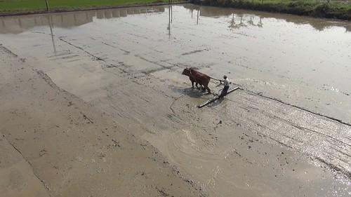 傳統水牛農耕的畫面逐漸式微,台灣農業能為此停格多久呢?(攝影:張博鈞)