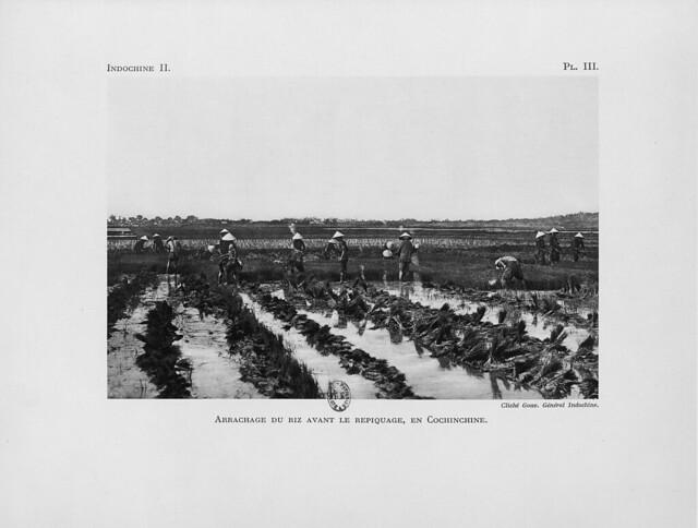 Arrachage du riz avant le repiquage, en Cochinchine - Nhổ mạ trước khi cấy lúa ở Nam Kỳ