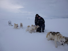 dog, arctic, winter, vehicle, snow, mushing, dog sled, sled dog racing,