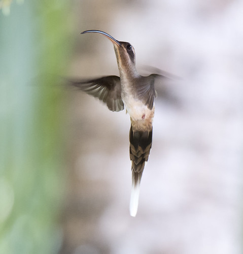 Western Long-tailed Hermit -- Rio Santiago, Honduras