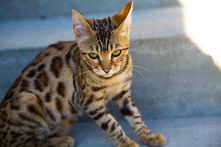Bengal kitten relaxing outside