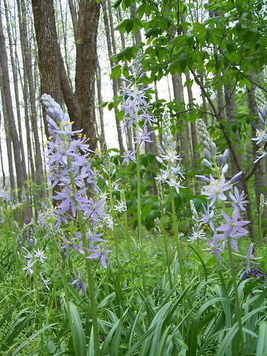 Hyacinth (Hoosier) The wild hyacinth are native perennial wildflowers that love full sun to slight shade and moist, rich soil. (U.S. Forest Service)