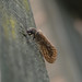 Small photo of Alderfly