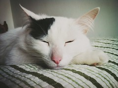 nose, animal, turkish van, white, small to medium-sized cats, skin, pet, mammal, close-up, cat, whiskers, domestic short-haired cat,