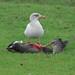 Herring Gull (Larus argentatus) Gråtrut, Brant Goose (Branta bernicla ) Prutgås