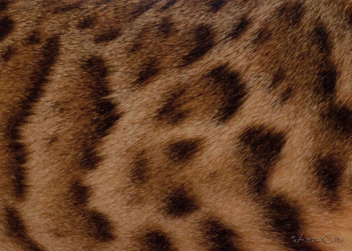 bengal cat coat patterns