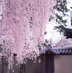 Pinky Kyoto