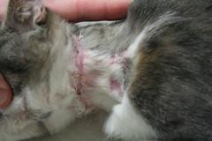 Feline Hyperesthesia