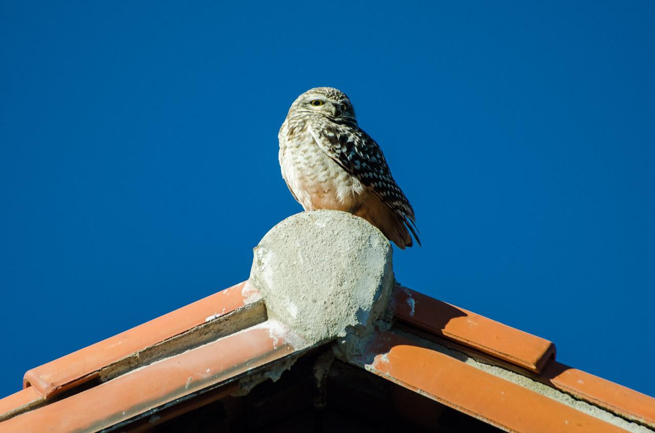 Una lechuza vizcachera se posa en el techo de la iglesia de San Miguel en la mañana del 12 de junio durante la última fecha de la fiesta del Ovecha Rague. (Elton Núñez)