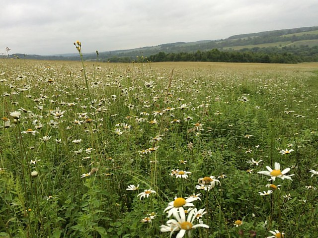 Lovely #microadventure in Lullingstone Country Park. Beautiful fields of flowers and scampering rabbits this morning