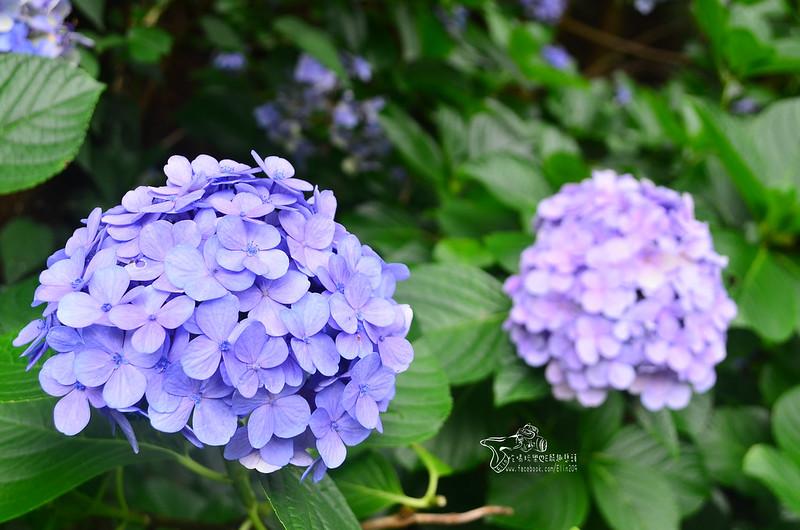 繡球花 (9)