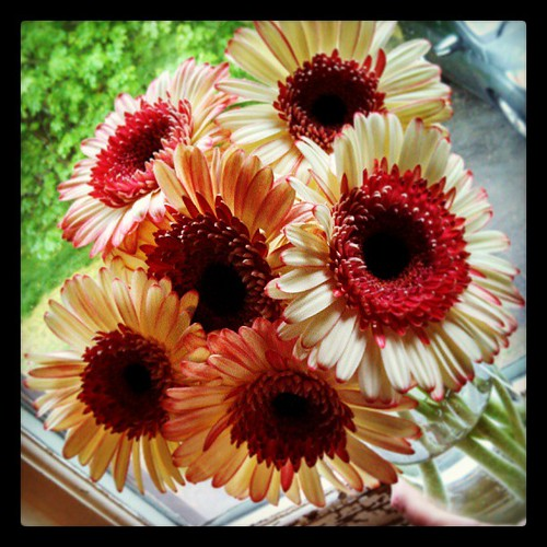 My favorite #flowers - #GerberDaisy from my furbabies for Mothers Day! #luckyme #love #sopretty
