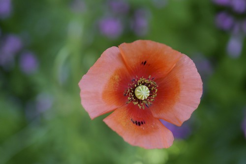 Long-headed poppy