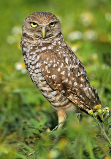 Burrowing Owl, Brian Piccolo Park. Broward County. Florida.