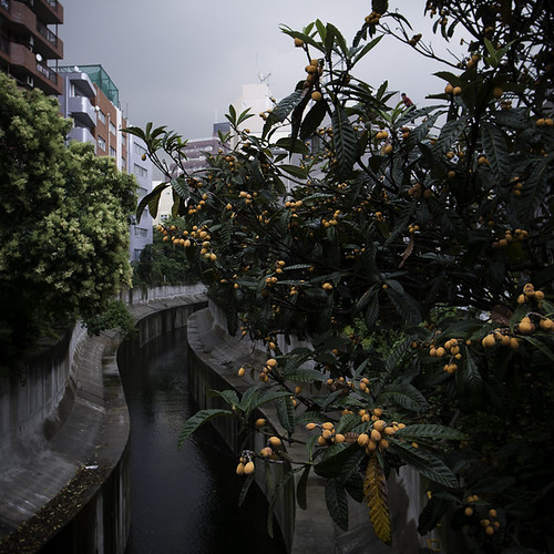 Hiro Riverside with Loquat Fruit びわ