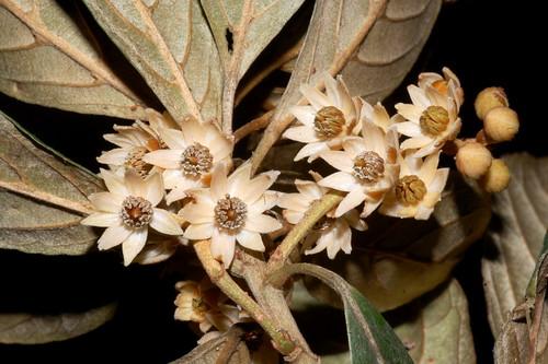 Elaeocarpus foveolatus DSC_1111