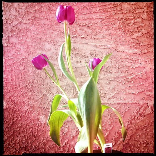 purple tulips by Digital Heather
