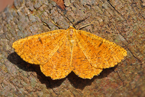 1924 Orange Moth Angerona prunaria Blean by Kinzler Pegwell