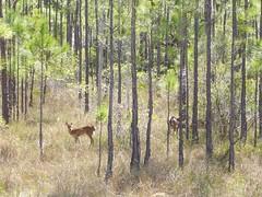 deer 001