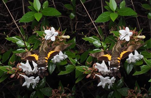 Macroglossum pyrrhosticta, stereo parallel view